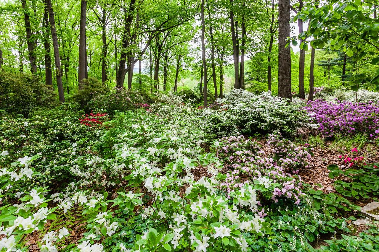 滨州詹金斯植物园(Jenkins Arboretum),满眼杜鹃花_图1-5