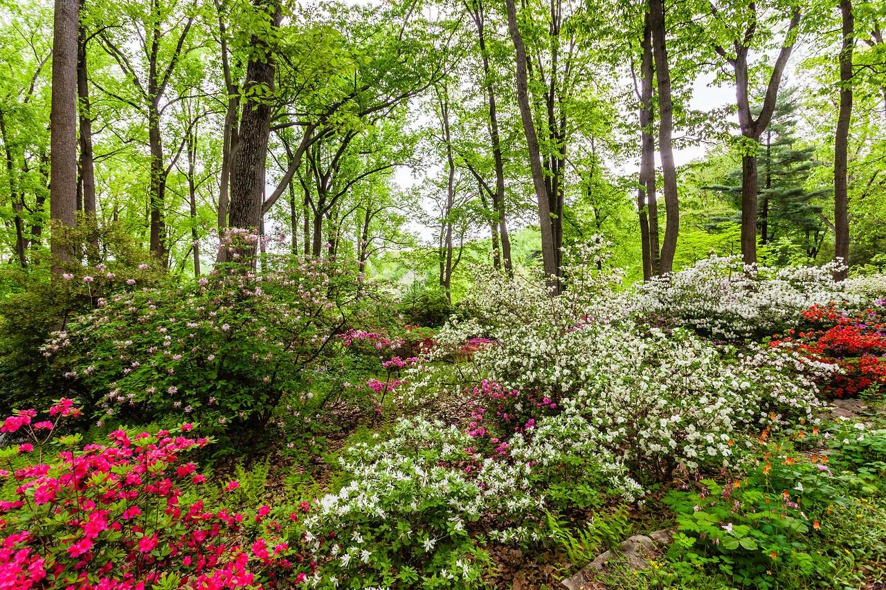 滨州詹金斯植物园(Jenkins Arboretum),满眼杜鹃花_图1-4