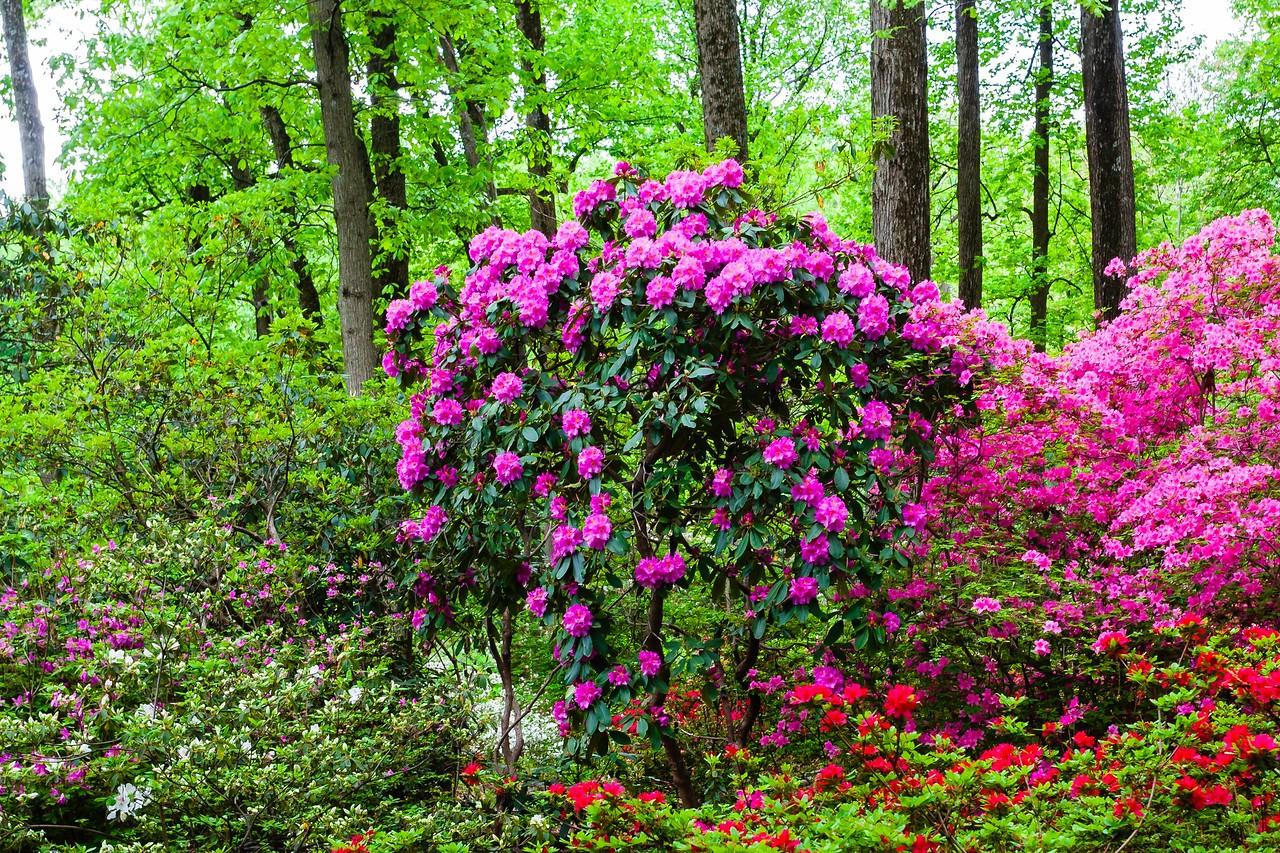 滨州詹金斯植物园(Jenkins Arboretum),满眼杜鹃花_图1-6