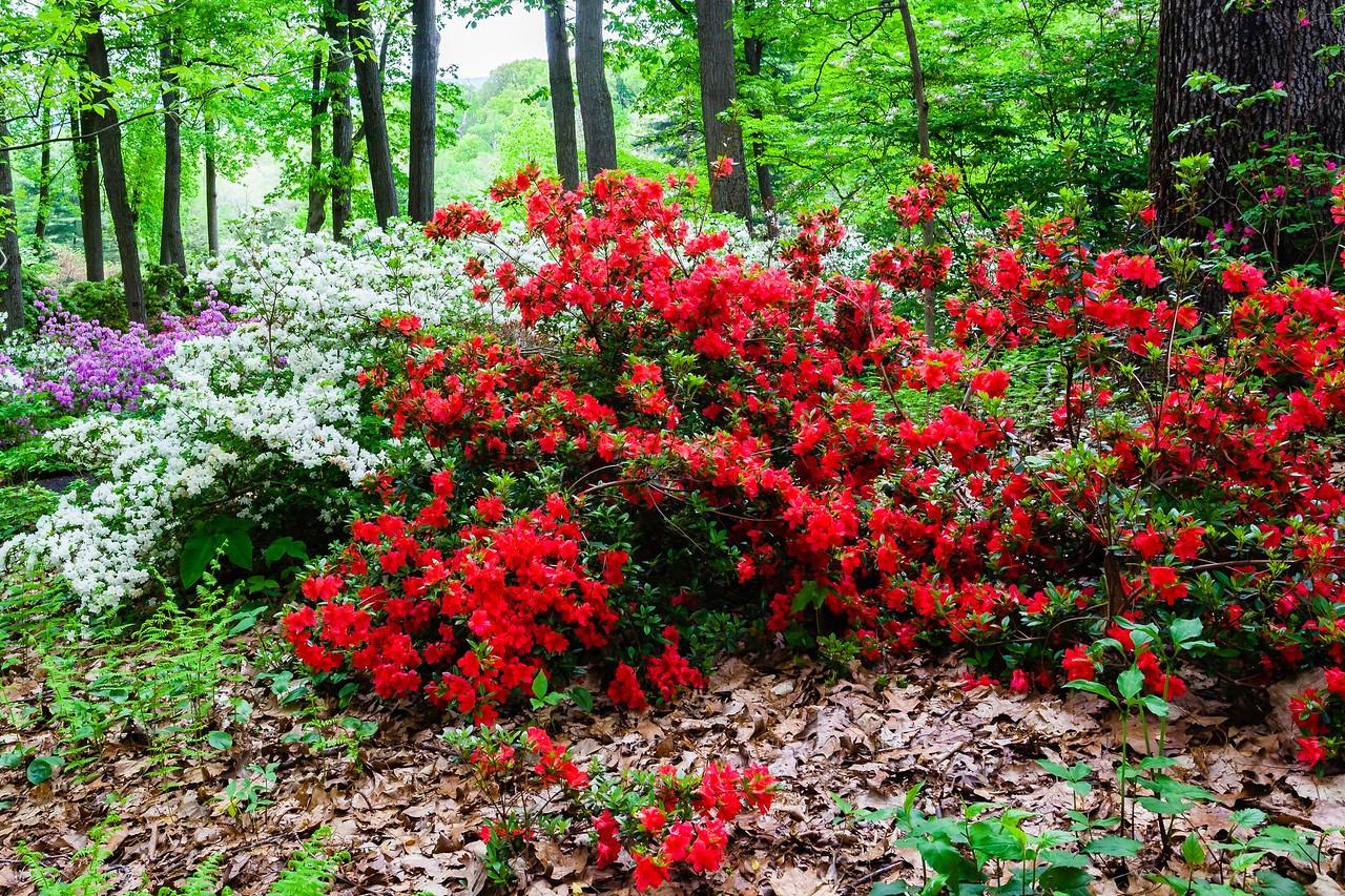 滨州詹金斯植物园(Jenkins Arboretum),满眼杜鹃花_图1-7