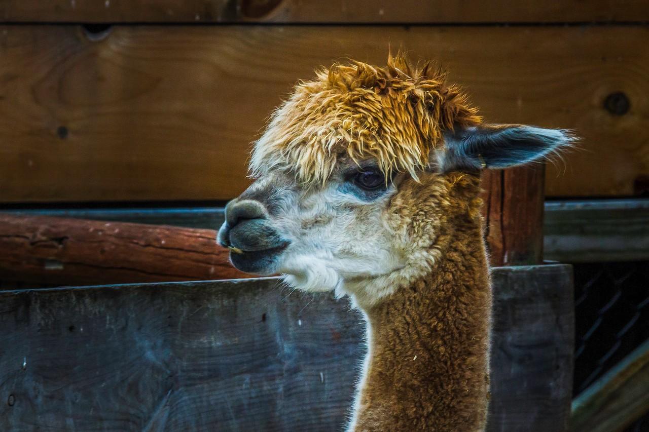 驼羊,萌萌肖像_图1-7