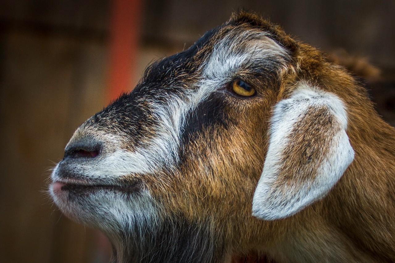 驼羊,萌萌肖像_图1-13