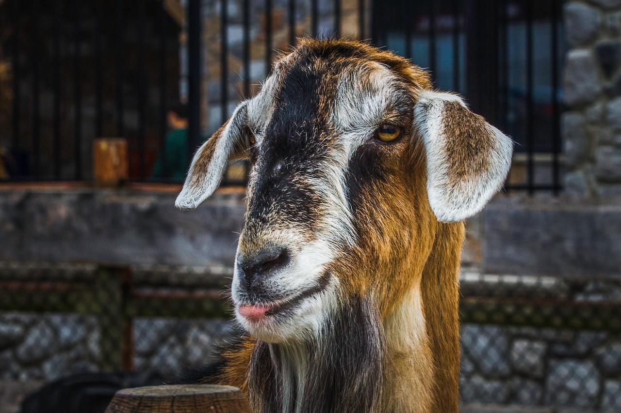 驼羊,萌萌肖像_图1-14