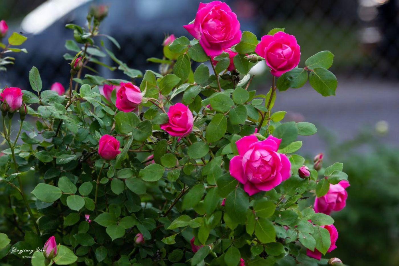 纽约玫瑰的禅意!(笨小孩的世界之二十七)_图1-3