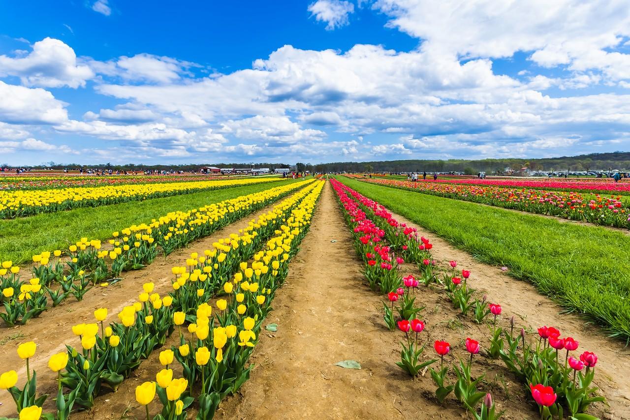 荷兰岭农场(Holland Ridge Farms, NJ),花的彩带_图1-20