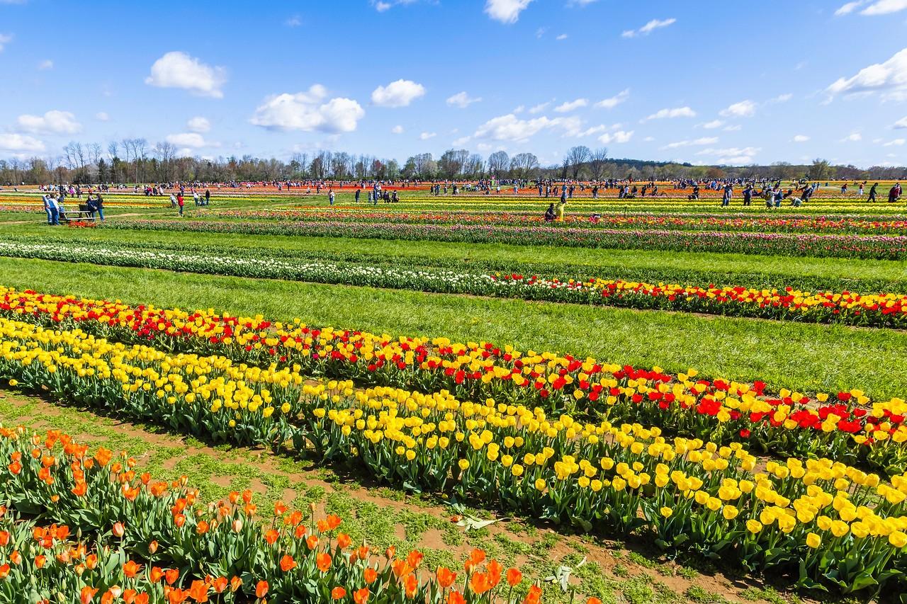 荷兰岭农场(Holland Ridge Farms, NJ),花的彩带_图1-2