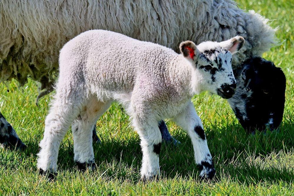 英国小羊羔_图1-1