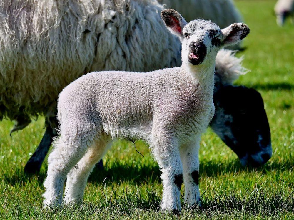 英国小羊羔_图1-2