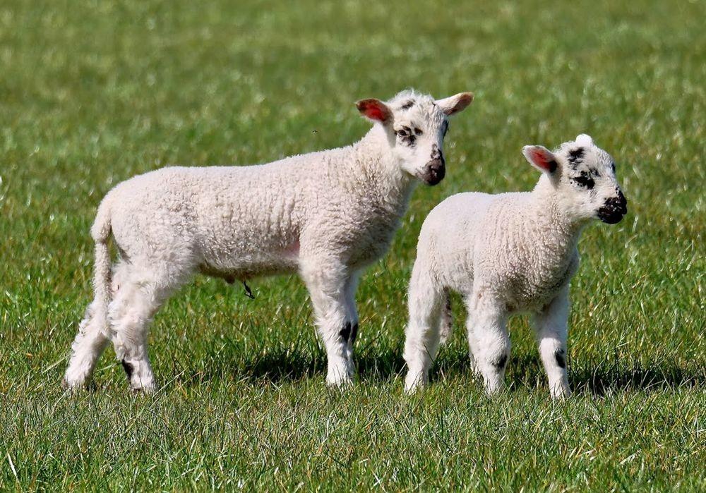 英国小羊羔_图1-5
