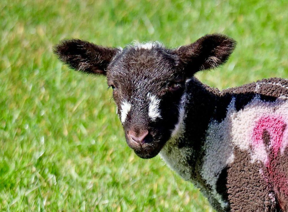 英国小羊羔_图1-6