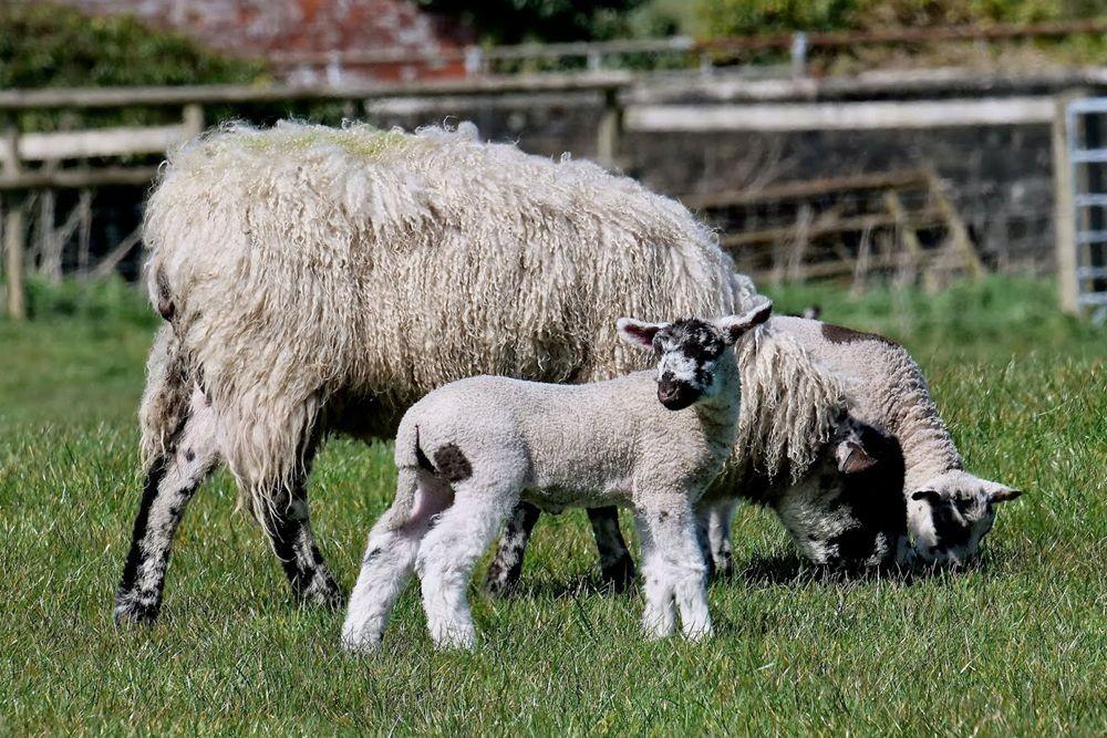 英国小羊羔_图1-7