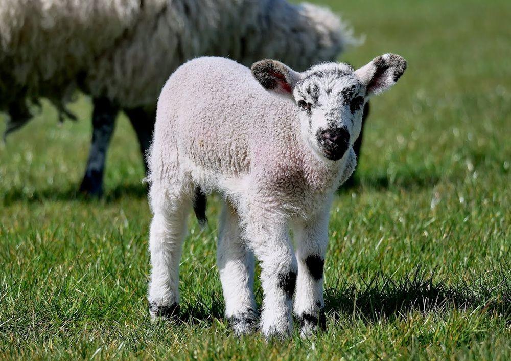 英国小羊羔_图1-8