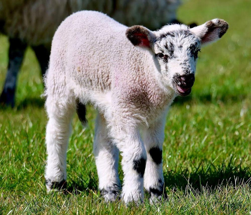 英国小羊羔_图1-9