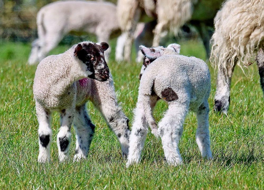 英国小羊羔_图1-10