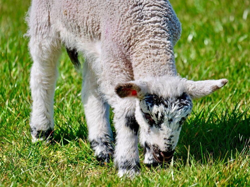 英国小羊羔_图1-11