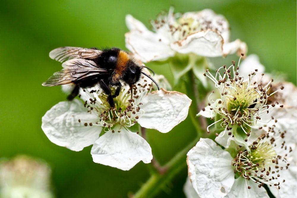 蜜蜂-授粉的功臣_图1-1