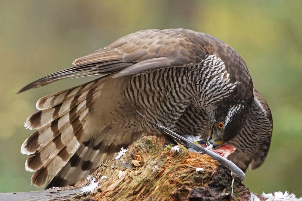 雀鹰的鸽餐_图1-2