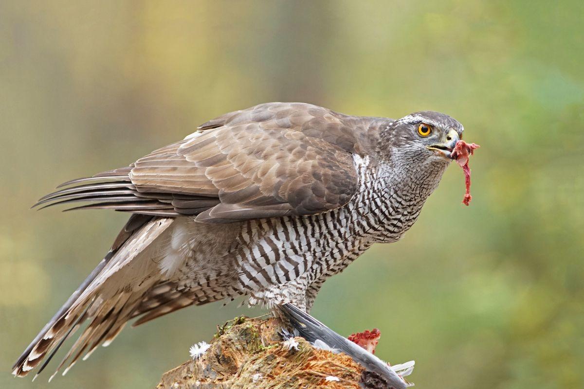 雀鹰的鸽餐_图1-4