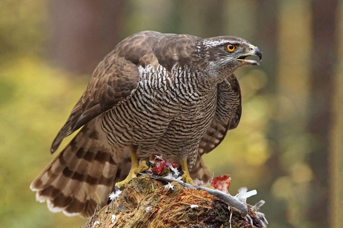 雀鹰的鸽餐_图1-5
