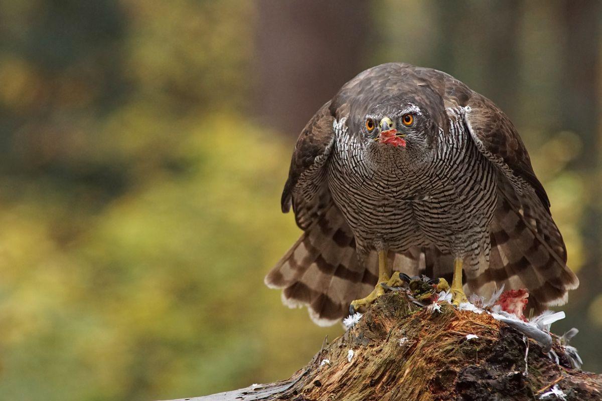 雀鹰的鸽餐_图1-6