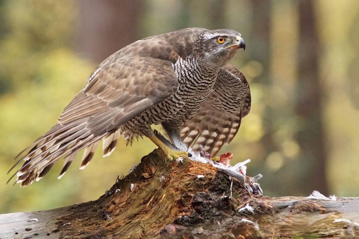 雀鹰的鸽餐_图1-8