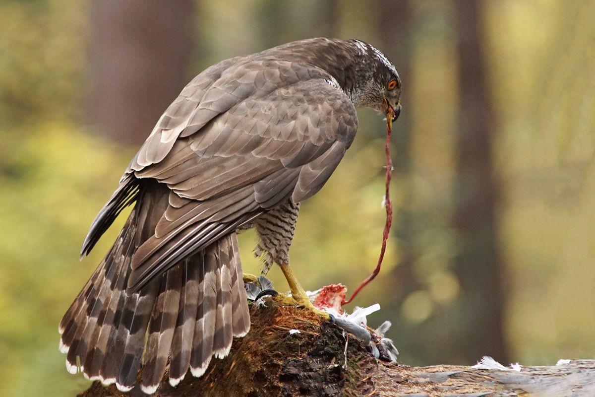 雀鹰的鸽餐_图1-9