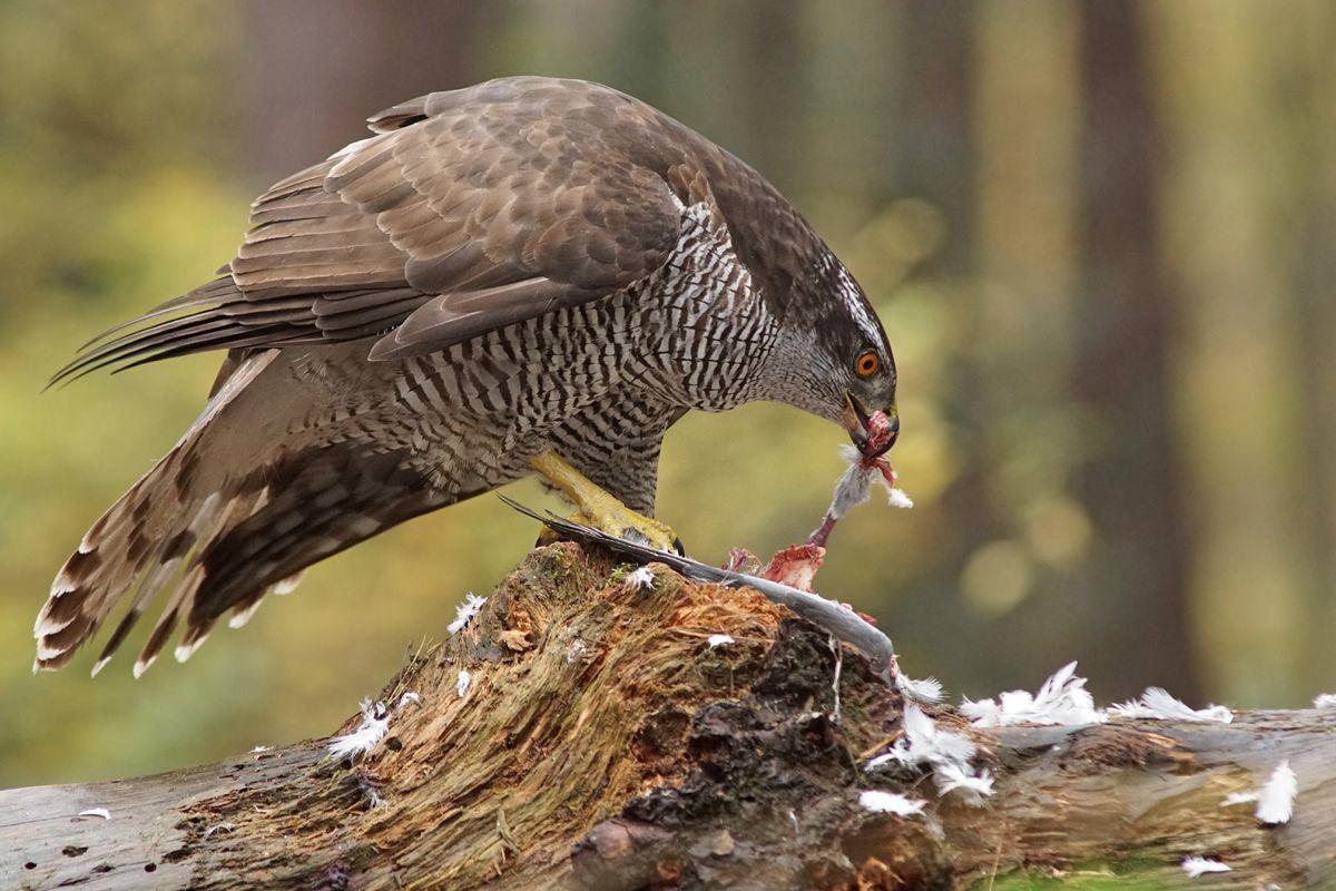 雀鹰的鸽餐_图1-11