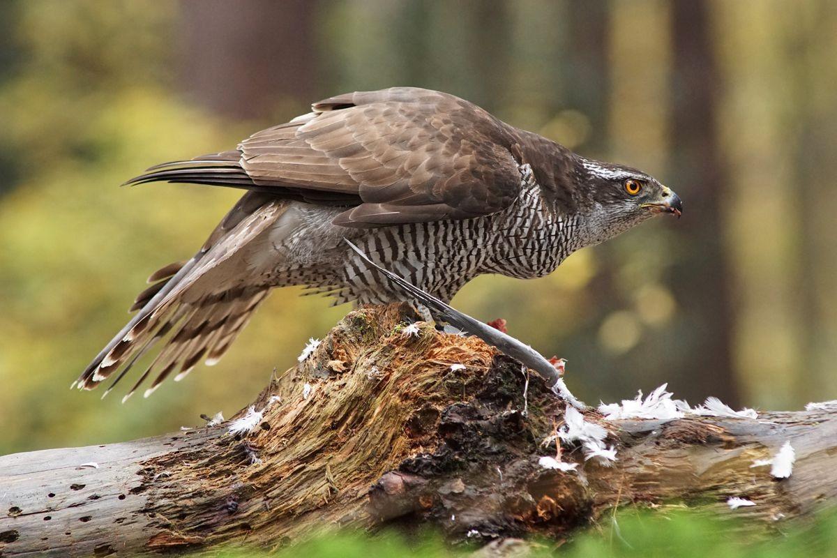 雀鹰的鸽餐_图1-12