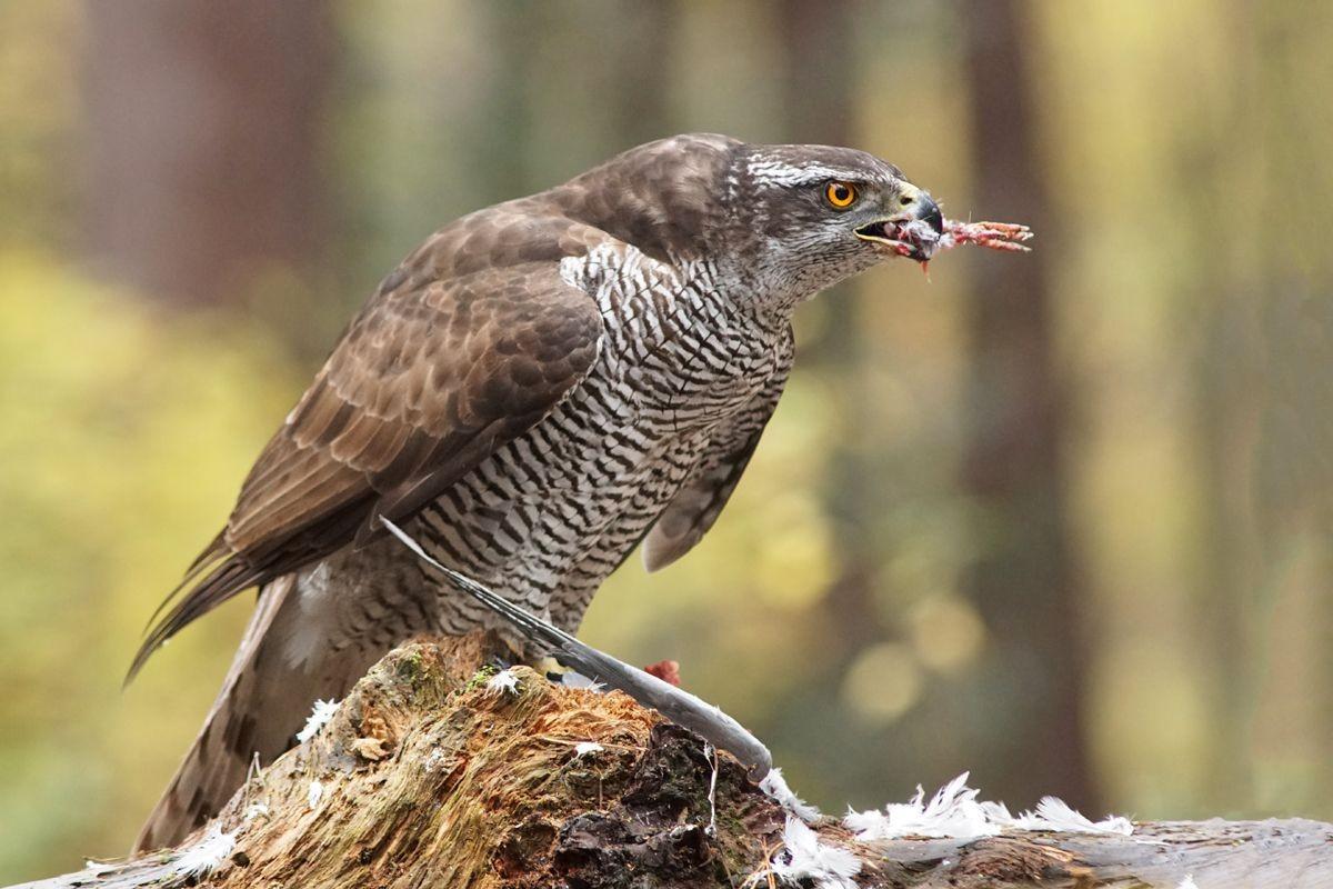 雀鹰的鸽餐_图1-14