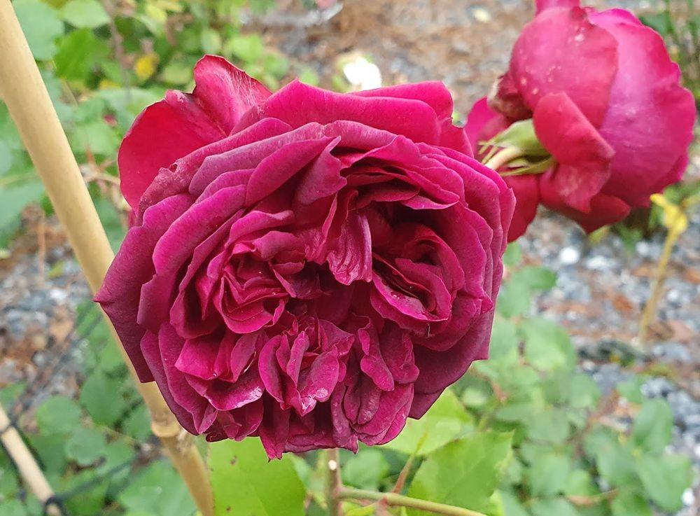 花卉日记-53_图1-15