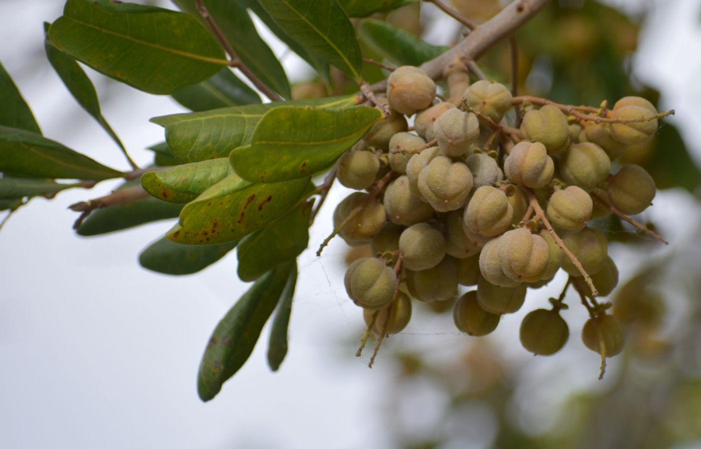 胡萝卜树的果实_图1-4