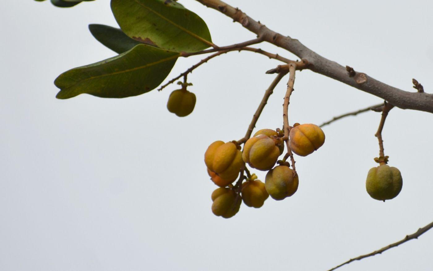 胡萝卜树的果实_图1-5