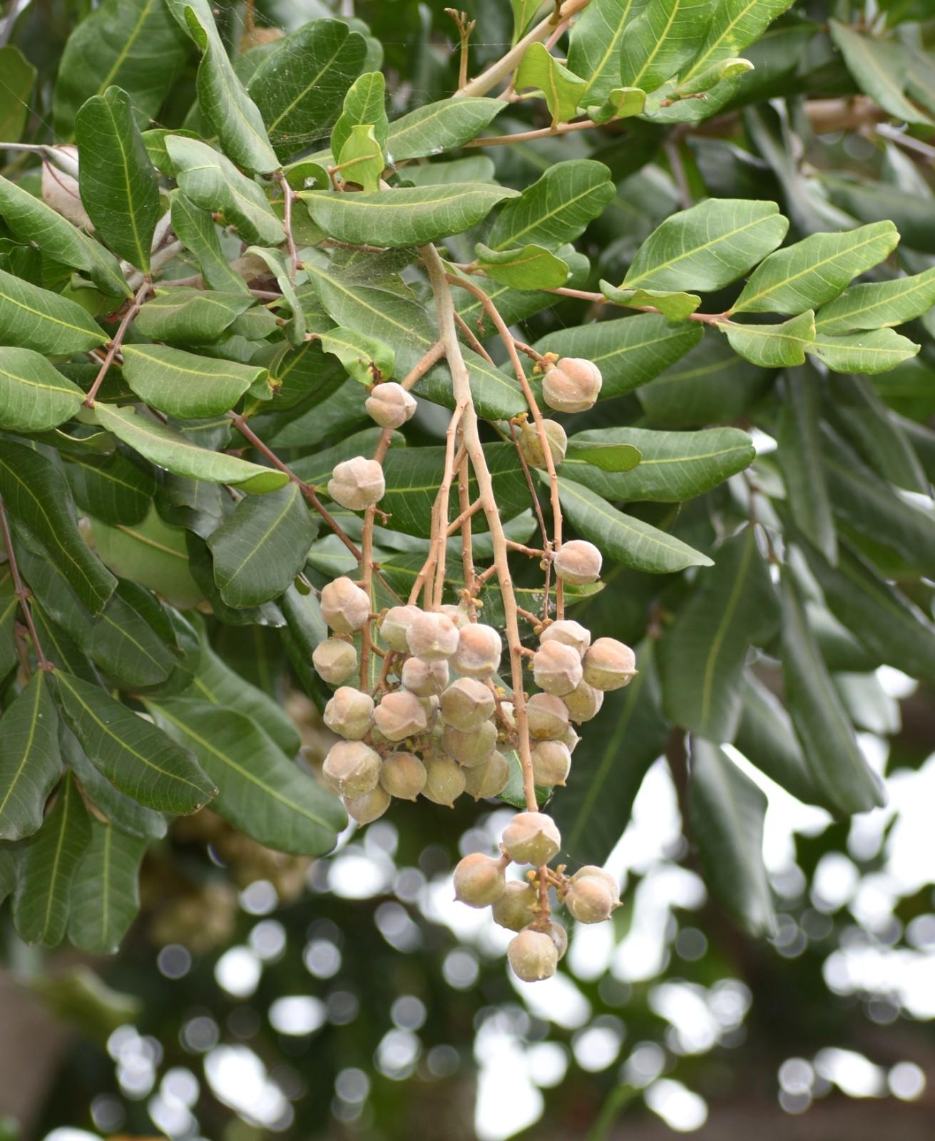 胡萝卜树的果实_图1-18