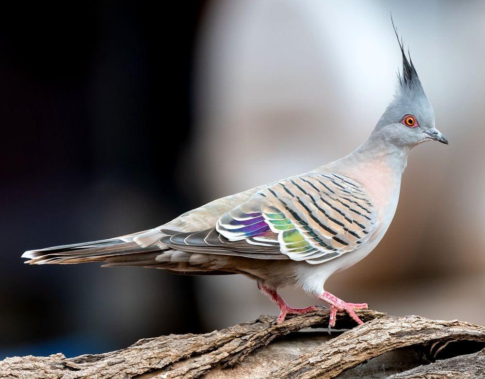 澳洲凤头鸽_图1-1