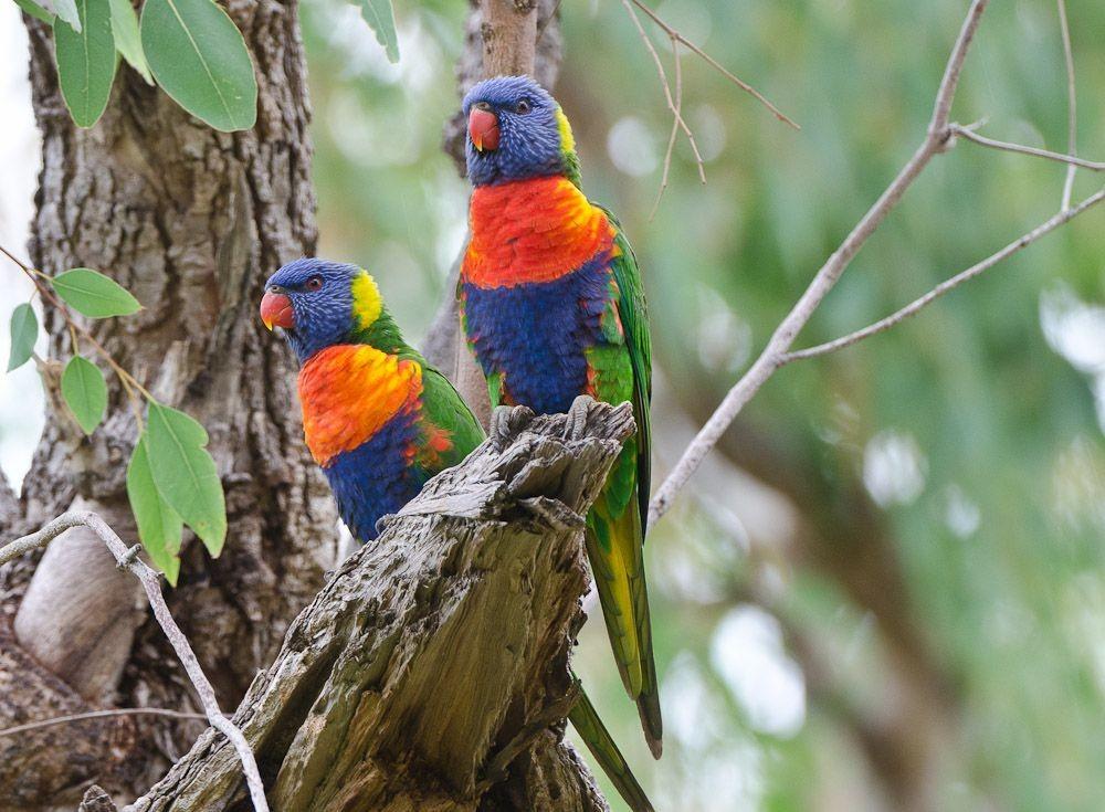 保护区内的澳大利亚鹦鹉_图1-2