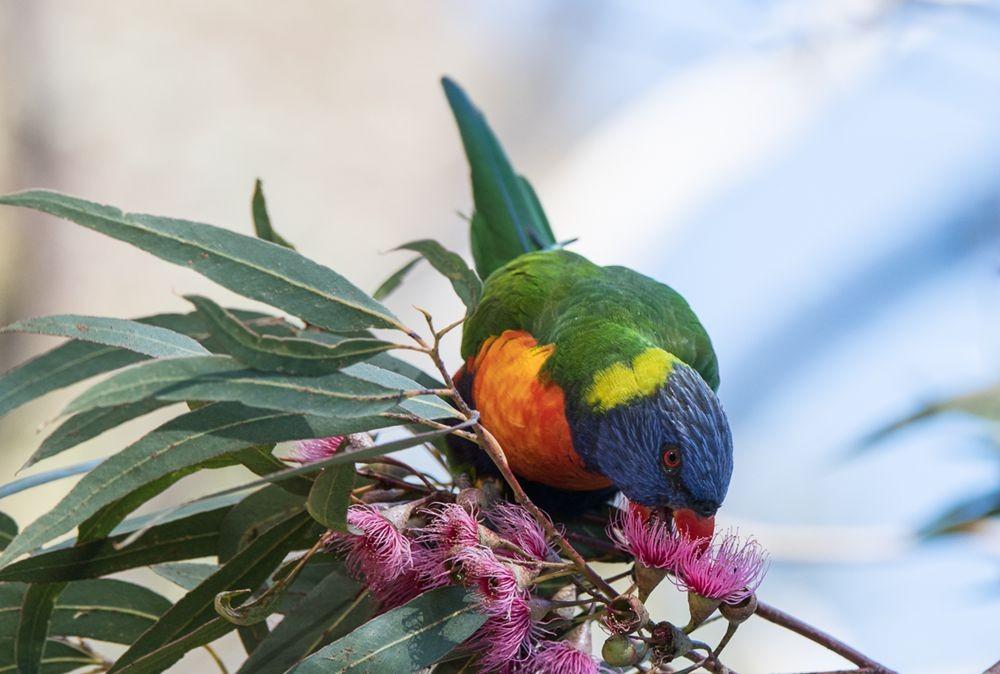 保护区内的澳大利亚鹦鹉_图1-3