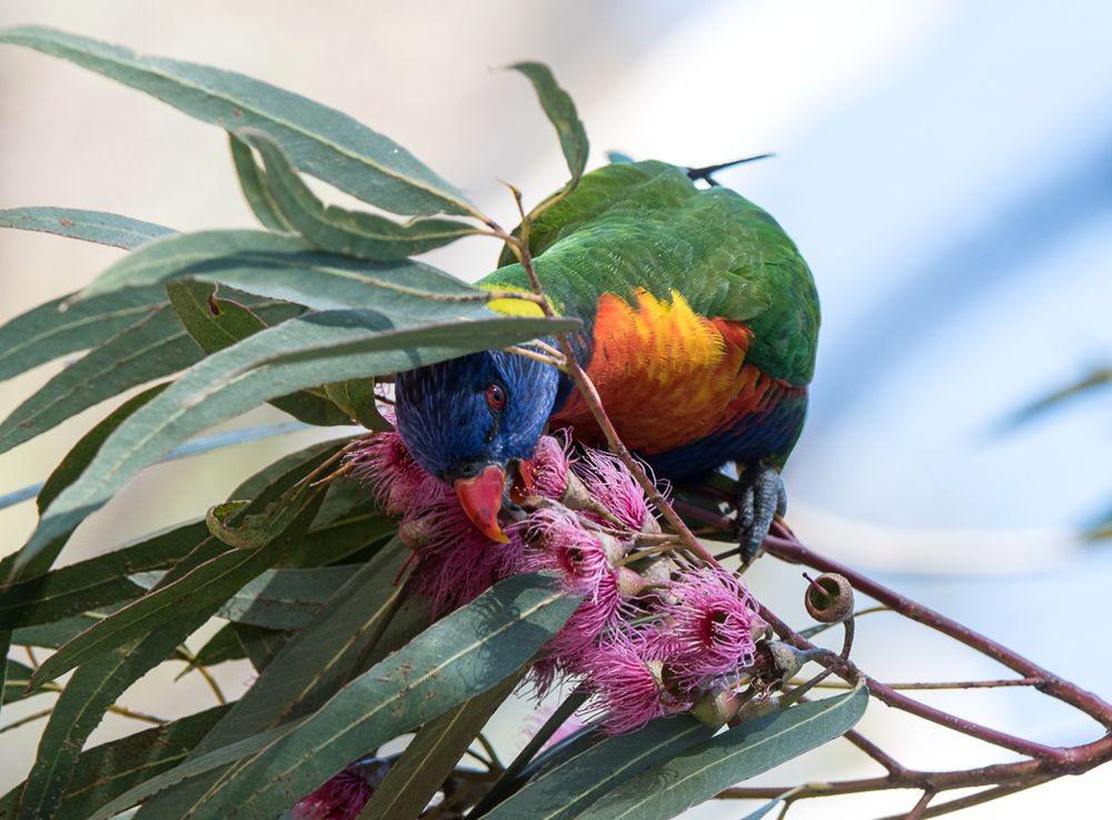 保护区内的澳大利亚鹦鹉_图1-5