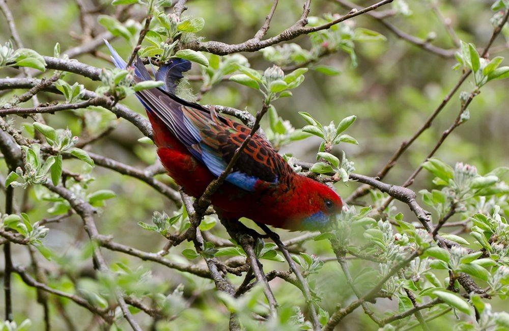 保护区内的澳大利亚鹦鹉_图1-6