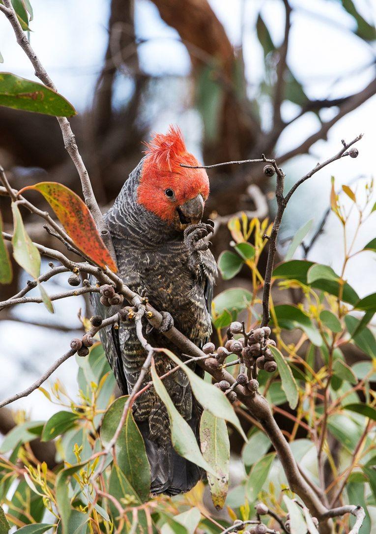 保护区内的澳大利亚鹦鹉_图1-8