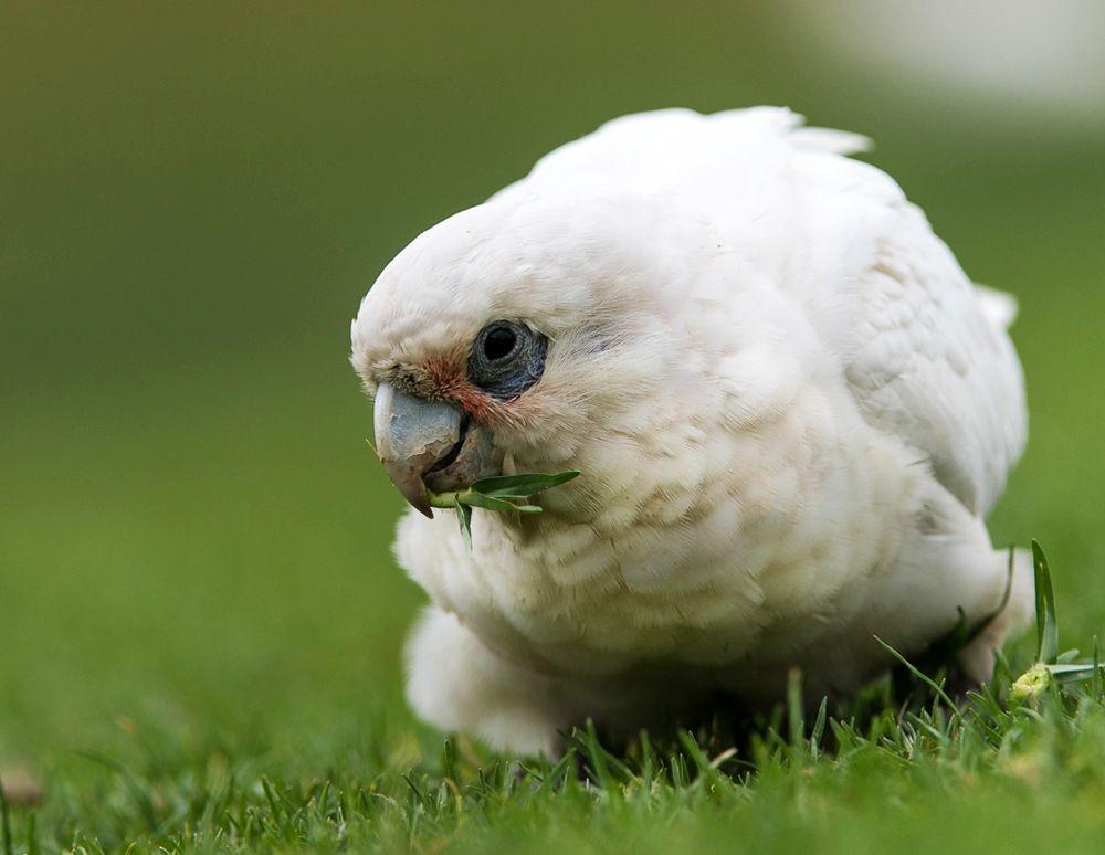 保护区内的澳大利亚鹦鹉_图1-9