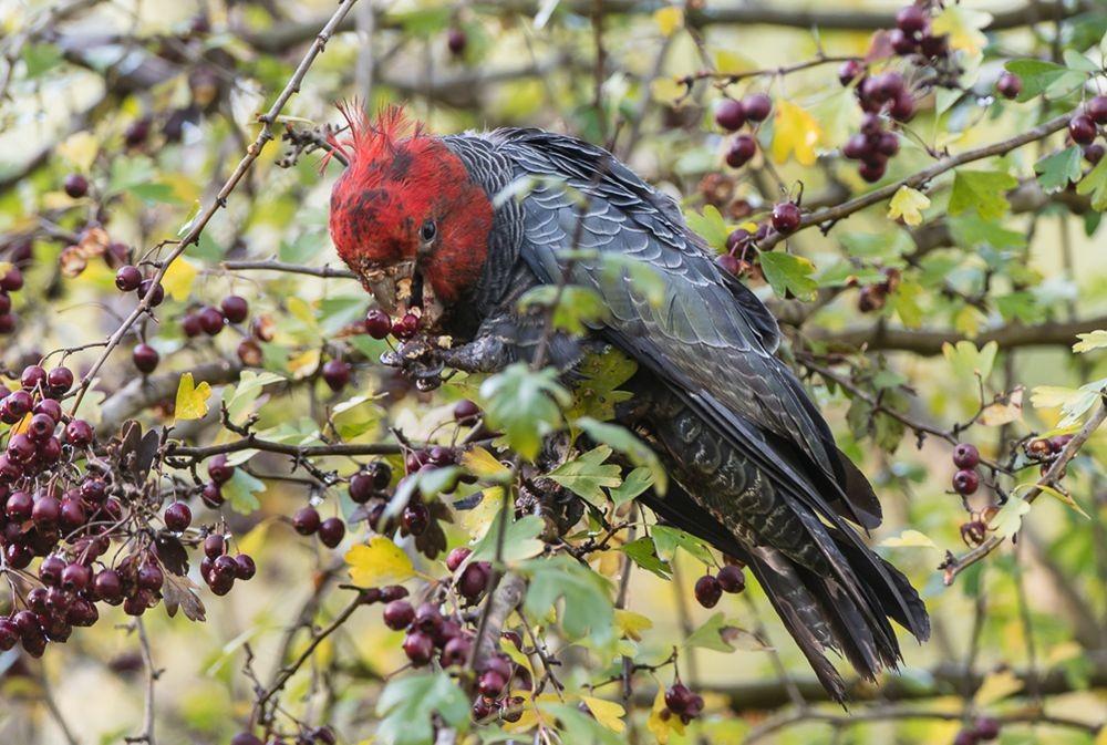 保护区内的澳大利亚鹦鹉_图1-12