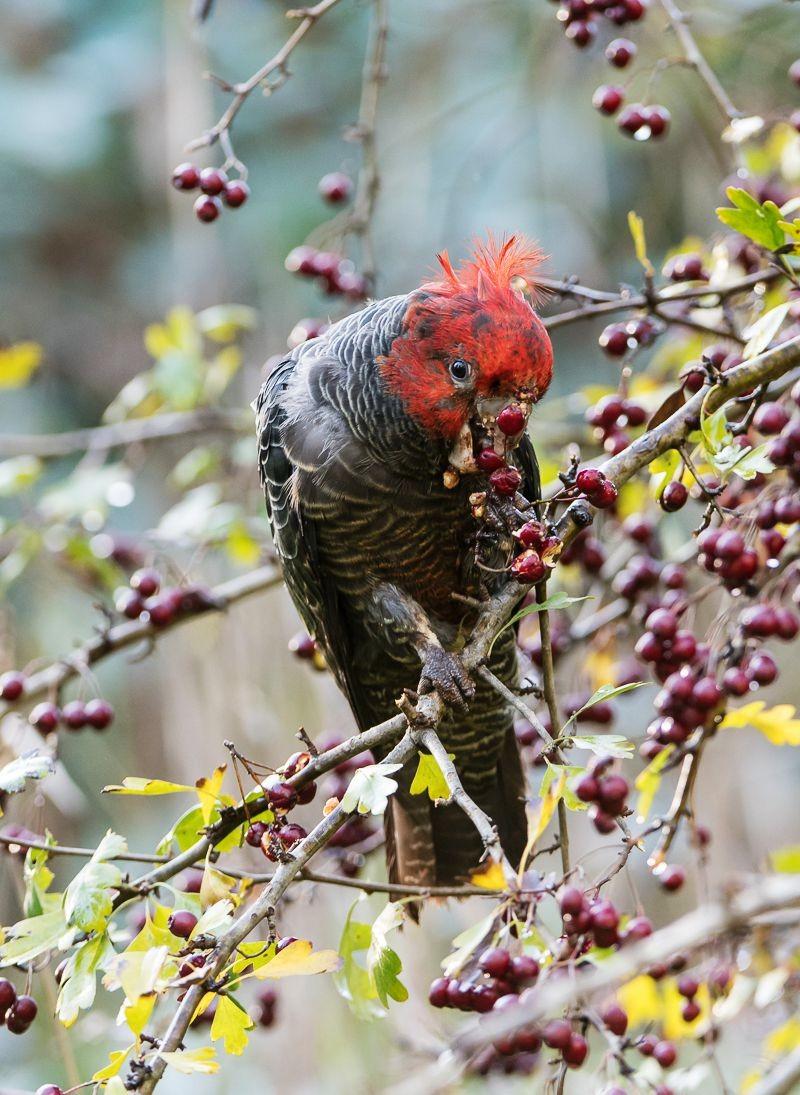 保护区内的澳大利亚鹦鹉_图1-14