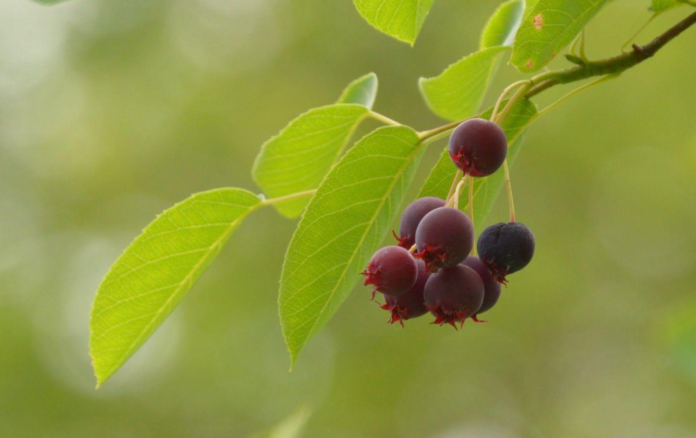 花楸树的果实_图1-1