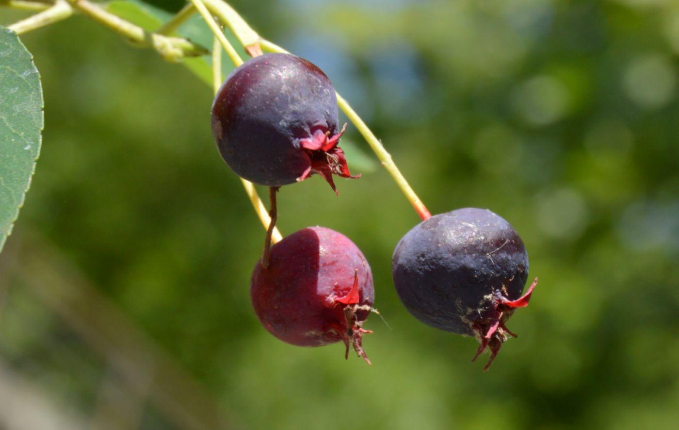花楸树的果实_图1-4