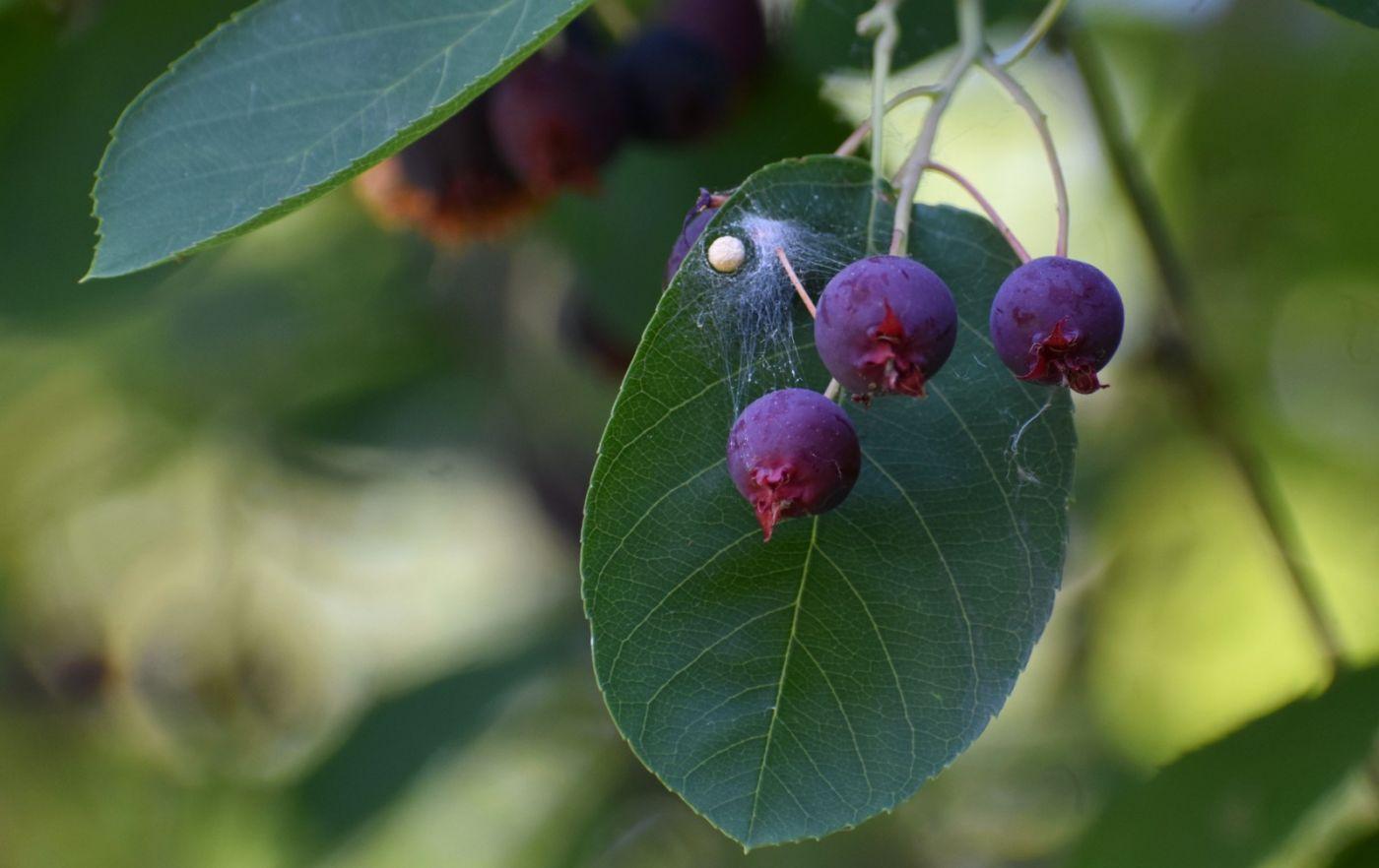 花楸树的果实_图1-5