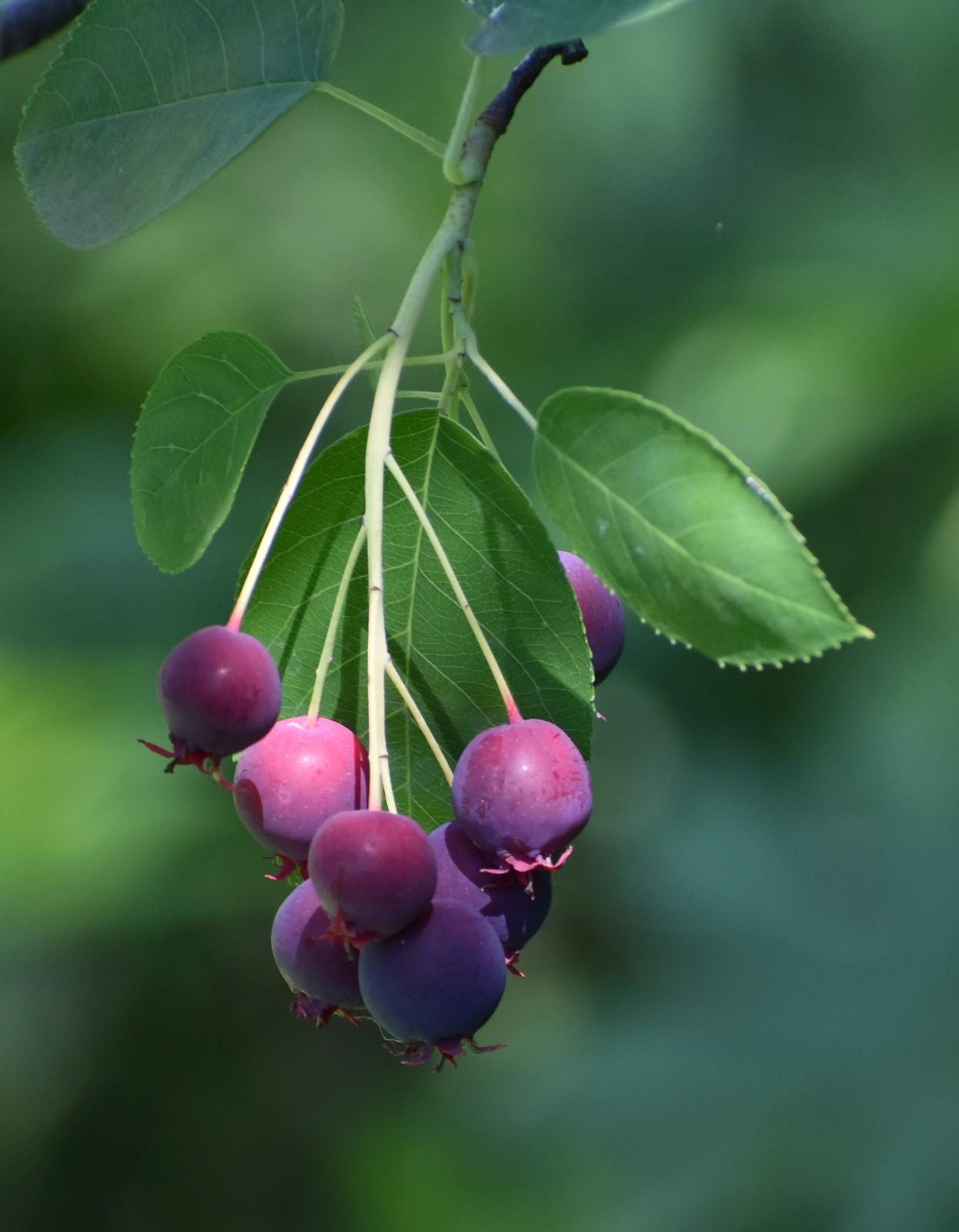 花楸树的果实_图1-6