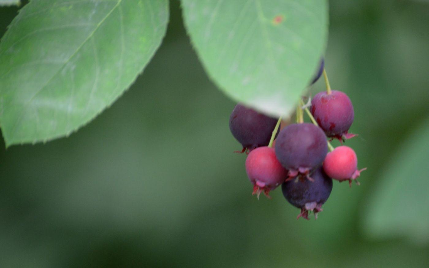 花楸树的果实_图1-8