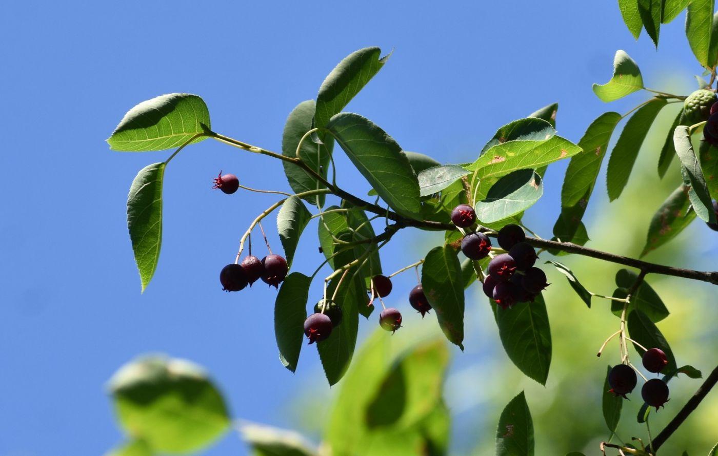 花楸树的果实_图1-12
