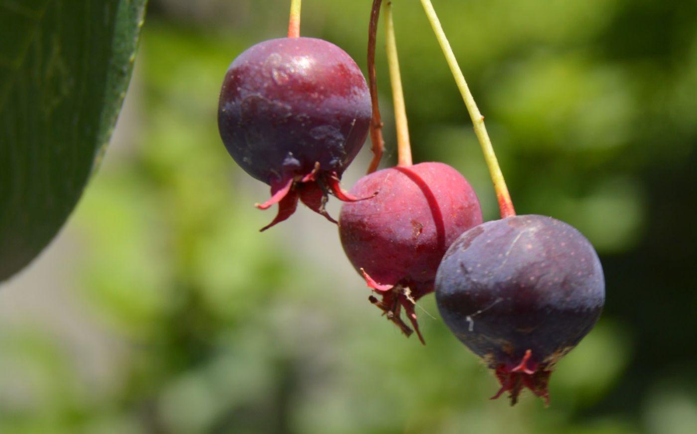 花楸树的果实_图1-16