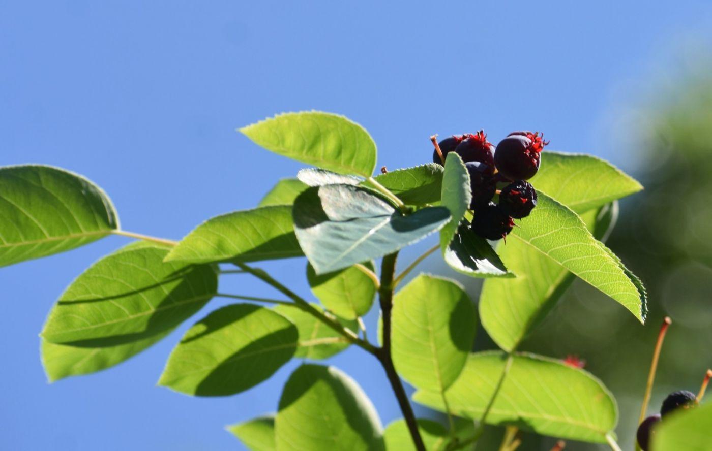 花楸树的果实_图1-18